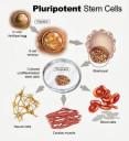 pluripotent-stem-cells